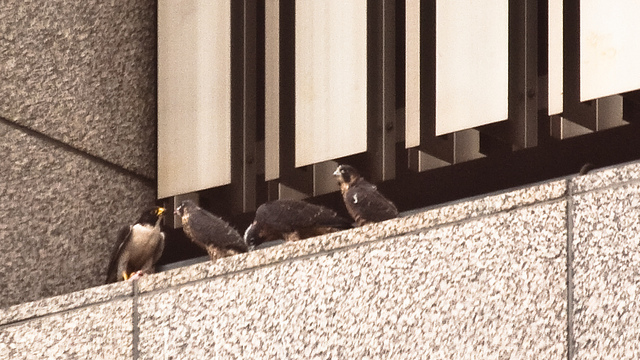 San Francisco Peregrine Falcons - Blog - Atlas Obscura