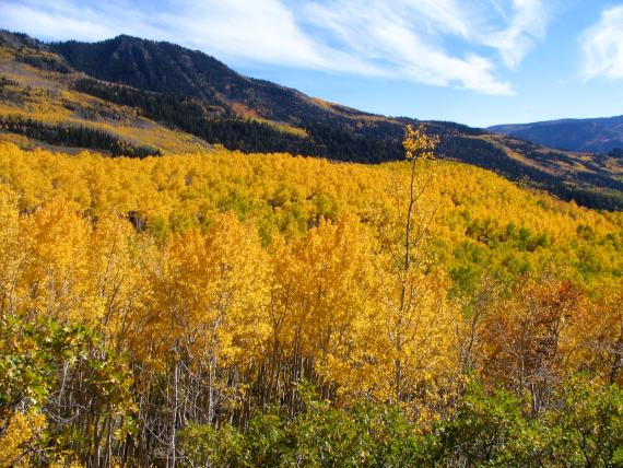Pando the Trembling Giant - FIshlake Nat'l Forest Utah - Atlas Obscura Blog