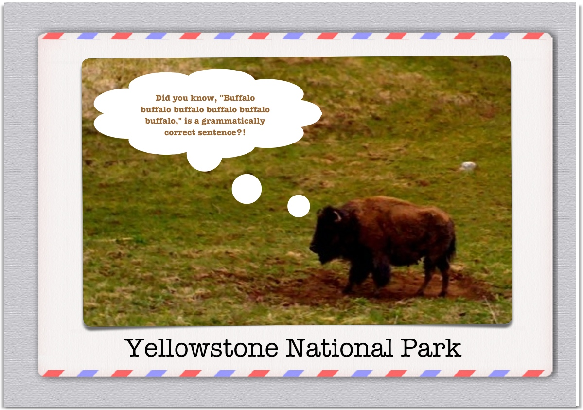 Buffalo buffalo buffalo Yellowstone  National Park postcard