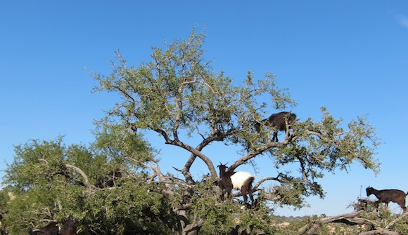 Goats climbing in trees - Goats love to climb trees - Atlas Obscura Blog
