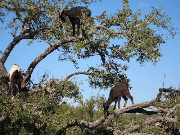 Goats in Trees - Tree climbing goats - Altas Obscura Blog