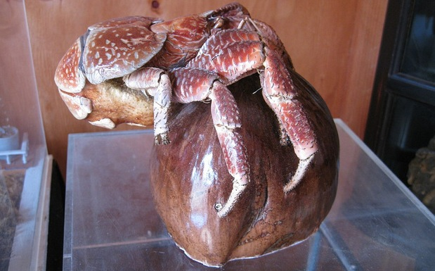 Zymoglyphic Museum - Obscura Day 2011 Tour - Coconut Crab Terror