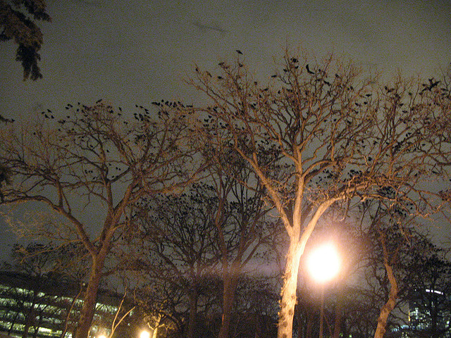 Flock of Crows - Murder of Ravens in Loring Park - Minneapolis Atlas Obscura