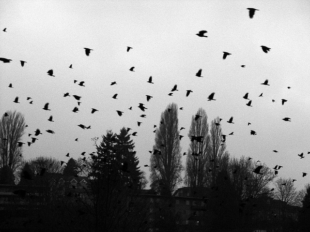 Crows in Winter Flock to Minneapolis - Atlas Obscura Blog