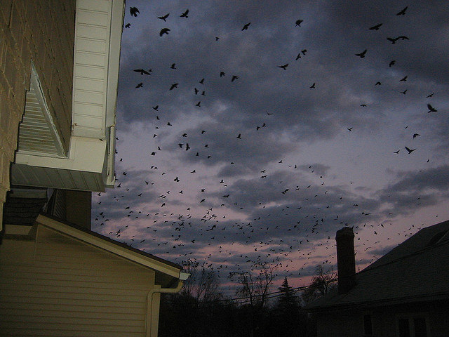 Crows Flocking to Roost - Atlas Obscura Blog - Winter Crow Murders