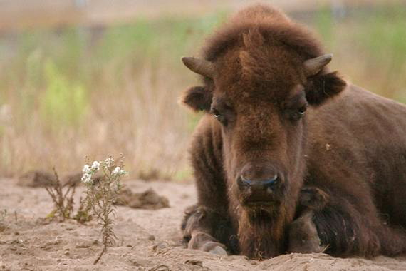 San Francisco Bison