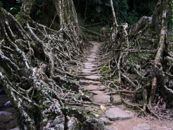 Root Bridges - Atlas Obscura